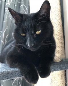 A black cat sitting demurely on the shelf of a cat tree. She is looking downwards and her front paws are curled over the edge of the shelf.