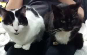 Two cats sitting on each knee of their owner. The left cat is white with black ears and a black splodge on her back. The right cat is black with a white chest and white whiskers. Both have yellow eyes.