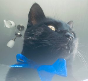 Shot from below, Oz is looking majestically off to the right. He has a bright blue bow around his neck that contrasts brilliantly with his sleek black fur.