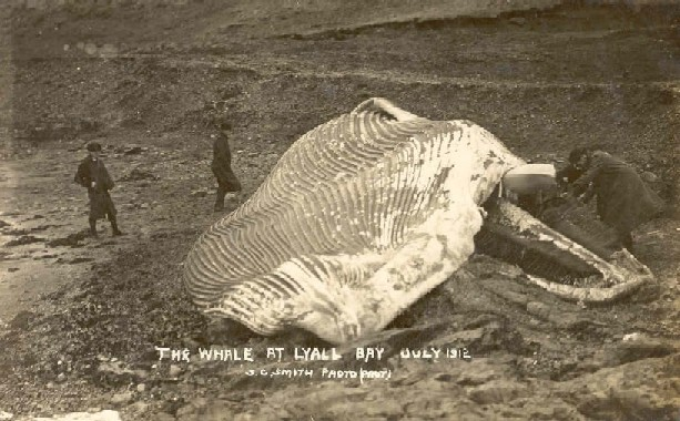 The whale at Lyall Bay, July 1912 /S.C. Smith, photo.