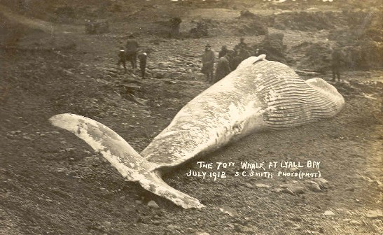 The 70ft whale at Lyall Bay, July 1912 /S.C. Smith, photo.